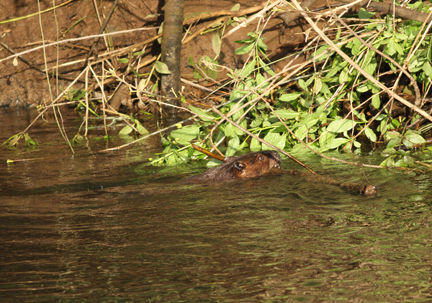 beaver with branch web lg