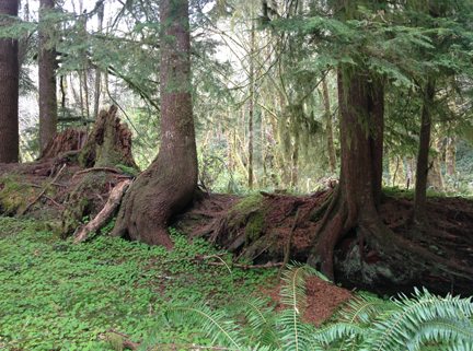 Old-growth trees have become vibrant nurse logs to a new generation of forest.