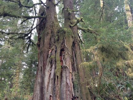 waterwood old tree web