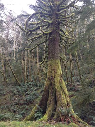 watewood old spruce web