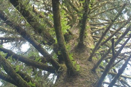 Shangrila-spruce-tree-web1