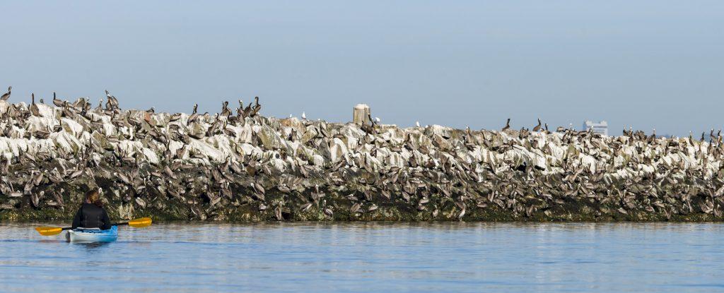 dj-pelicans-and-sf-skyline_slider2