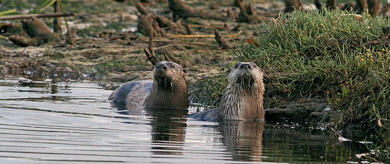 otter_pair_ppw