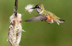 hummingbird_cattail_tuft_ppwFI