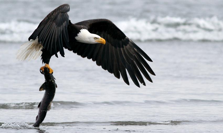 bald eagles an intimate portrait north coast land conservancy