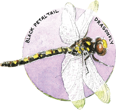 Black Petaltail Dragonfly