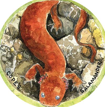 Cope's Giant Salamander