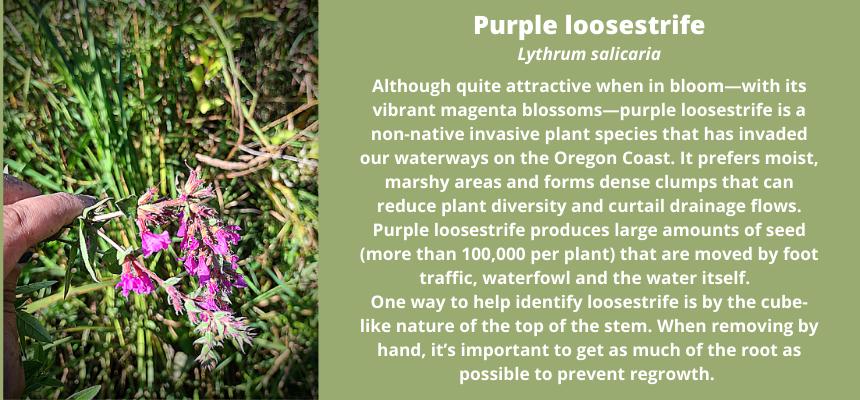 Purple Loosestrife Information Box